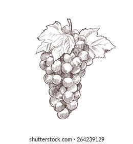 hand drawn grapes vintage engraving style vector illustration