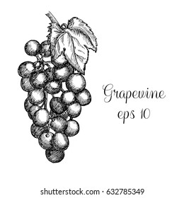 Hand drawn grapewine