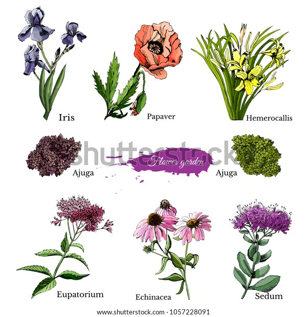 Hand drawn grapihic and colored sketch with summer flowers sedum, papaver, echinacea, hemerocallis, iris, eupatorium for flower garden. Vector illustration.