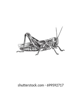 Hand Drawn Grasshopper Sketch Symbol. Vector Mantis Element In Trendy Style.