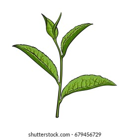 Hand drawn green tea leaf, side view sketch style vector illustration isolated on white background. Realistic hand drawing of green tea leaves, side view sketch style illustration, decoration element