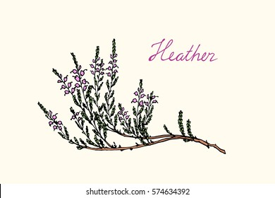 Hand drawn heather branch with handwritten Heather word made in vector. Beautiful floral design elements.