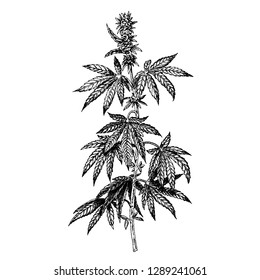 Hand drawn hemp plant with cones. Cannabis branch with leaves. Isolated sketch of marijuana twig. Black and white graphic design. Vector illustration.