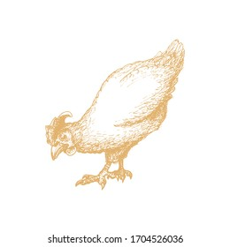Hand drawn hen in engraving style. Graphic illustration of chicken in vector.