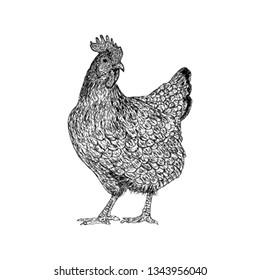 Hand drawn hen illustration vector