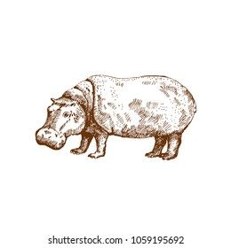 Hand drawn hippo ( hippopotamus) . Sketch, vector illustration.