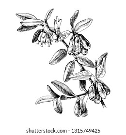 Hand drawn honeysuckle branch with flowers and ripe berries. vector illustration