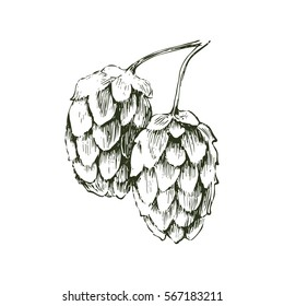 Hand drawn hop plant - monochrome vector illustration
