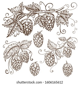 hand drawn hops collection isolated on white. vector hop illustration with leaves, branches and cones in engraving vintage style with curly tendrils. great for packing, beer label design, pub emblem