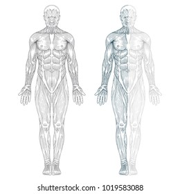 Hand drawn human anatomy illustration. Muscles in the body, vector. Front view - full body.