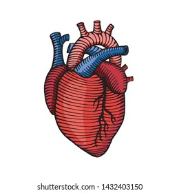 hand drawn human heart drawing illustration with colors engraved style