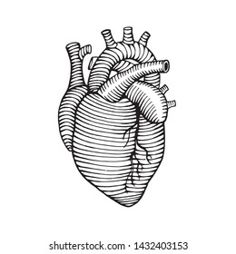 hand drawn human heart drawing illustration engraved style