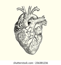 Hand drawn Human heart. Sketch anatomical vector illustration isolated on background. Eps10.