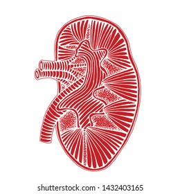 hand drawn human kidney drawing reverse illustration with out line