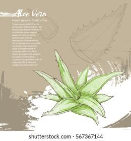 hand drawn illustration of Aloe Vera on background design.