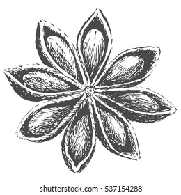 Hand drawn illustration of anise. Star anise. Isolated on a white background