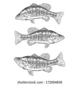 Hand Drawn Illustration of a Bass