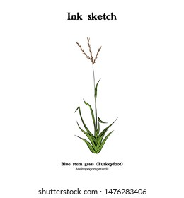 Hand drawn illustration of Bluestem grass, Andropogon gerardii. Turkeyfoot grass.