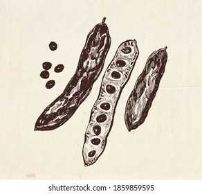 Hand drawn illustration of carob pods with seeds, vintage botanical and culinary  drawing