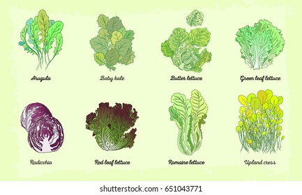 Hand drawn illustration with eight lettuce sorts. Fully editable vector illustration lettuce set with names.