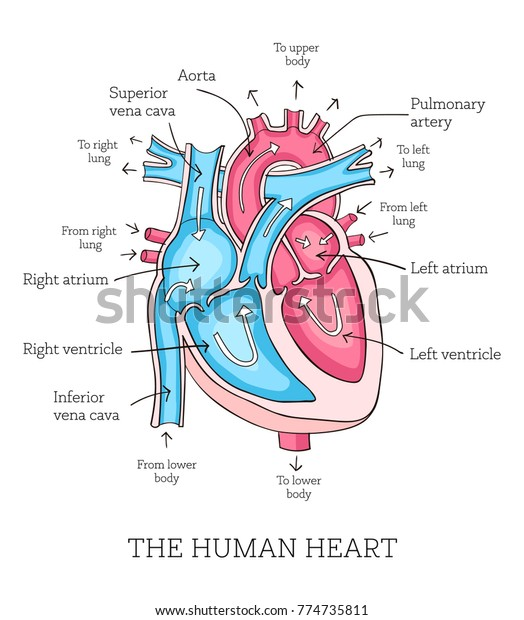 Hand Drawn Illustration Human Heart Anatomy Stock Vector