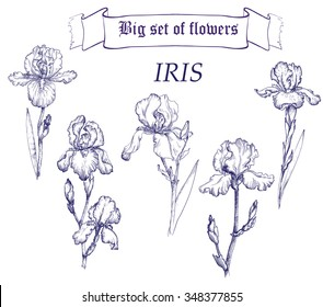 Hand drawn illustration of iris. Ink drawing. Vintage stile.