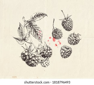 Hand drawn illustration of raspberry branch with berries and leaves, detailed botanical drawing
