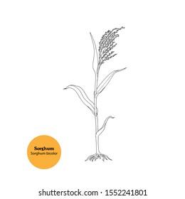 Hand drawn illustration of Sorghum plant, Sorghum bicolor, o Sweet sorghum, Great millet. Line drawing.