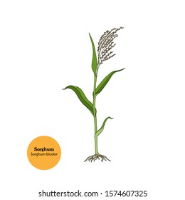 Hand drawn illustration of Sorghum plant, Sorghum bicolor, with seeds, roots, leaves and stem. Forage and food crop.