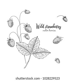Hand drawn illustration of wild strawberry isolated on white background. Berries engraved style illustration. Detailed vegetarian food. Applicable for menu, flyer, label, poster, print, packaging