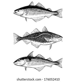 Hand Drawn Illustrations of Atlantic Cod, Pollock and Haddock fishes