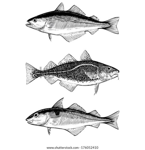 Hand Drawn Illustrations of Atlantic Cod, Pollock and Haddock fishes