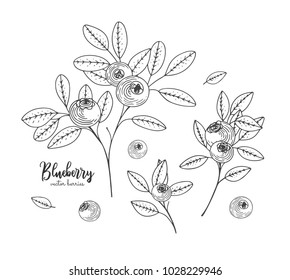 Hand drawn illustrations of blueberry isolated on white background. Hand drawn sketch of organic healthy dietary supplement. Engraving sketch vintage style. Applicable for menu, brochures, flyers.