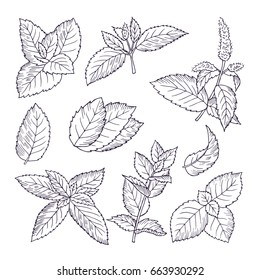 Hand drawn illustrations of mint leaves and branches. Herbal doodle background