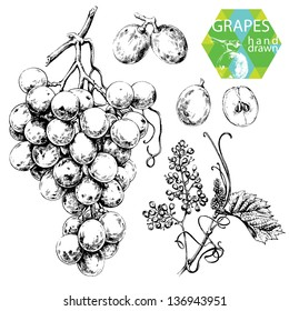 Hand drawn illustrations of white grapes