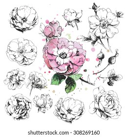 Hand drawn illustrations of wild rose flowers isolated on white background