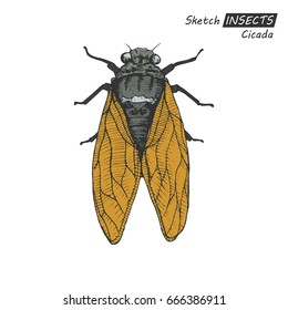 Hand drawn ink sketch of cicada isolated on white background. Vector illustration. Drawing in vintage style.
