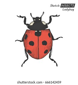 Hand drawn ink sketch of ladybug isolated on white background. Vector illustration. Drawing in vintage style.