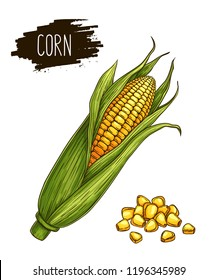 Hand drawn isolated ripe corn cobs and grain with label. Natural vegetable vector sketch illustration.