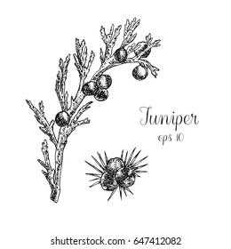 Hand drawn juniper berries
