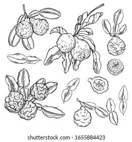 Hand drawn  kaffir lime (bergamot).  Vector sketch illustration