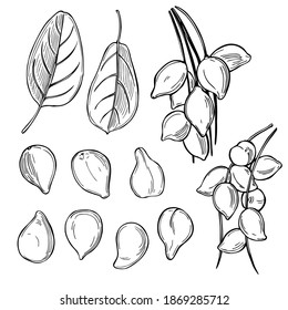 Hand drawn Kakadu plum (Terminalia ferdinandiana) Vector sketch  illustration.