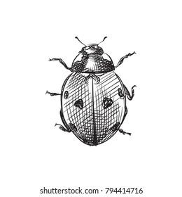 Hand Drawn Ladybug Sketch Symbol. Vector Ladybird Element In Trendy Style.