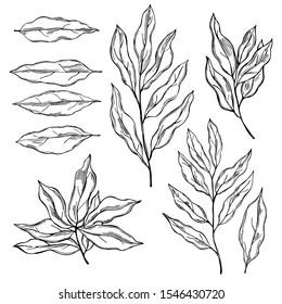 Hand drawn laurel plant. Vector  sketch illustration
