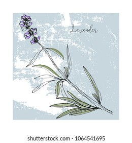 Hand drawn lavender flowers on vintage shabby texture. Pastel soft blue background. Vector decoration element