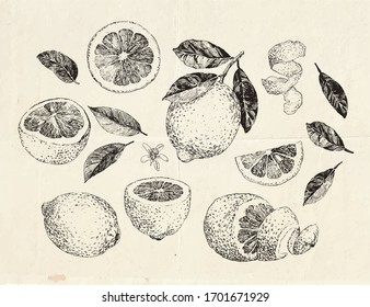 Hand drawn lemon fruit, sliced and peeled lemon, vintage illustration