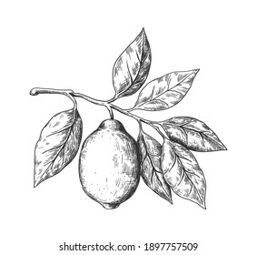 Hand drawn lemon. Sketch style fruit branch, whole fresh citrus with leaves, vector black and white drawing isolated illustration for lemonade or juice package, decorative plant for label or poster