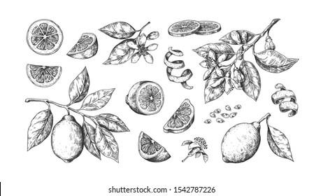 Hand drawn lemon. Vintage lime orange or lemon fruits blossom and branches for juice label. Vector black ink outline food sketch illustrations with juicy piece and peel fruit for health fresh drinks