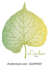 Hand drawn linden leaf. Isolated vector.