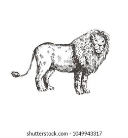 Hand drawn lion. Sketch, vector illustration.